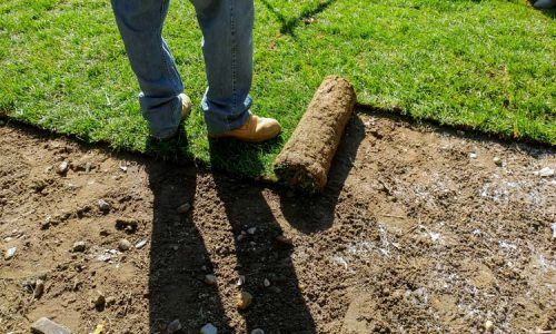 Unrolling Sod with fresh natural roll green lawn grass